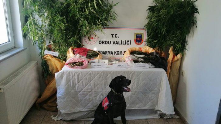 ORDU'DA YAPILAN OPERASYONDA KENEVİR YAKALANDI
